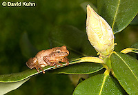 0302-0916  Spring Peeper Frog, Pseudacris crucifer (formerly: Hyla crucifer)  © David Kuhn/Dwight Kuhn Photography