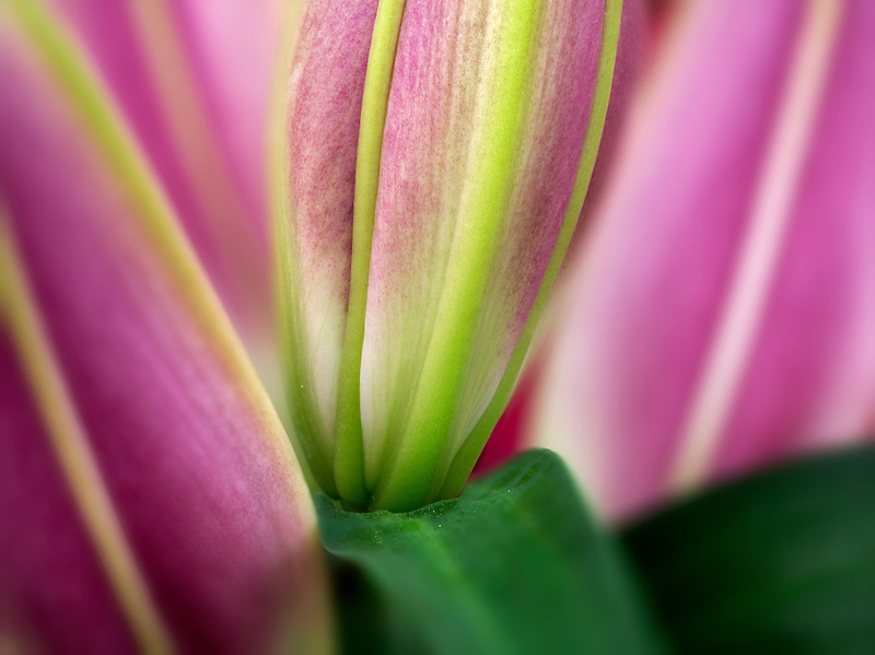 Close up of Oriental Lily buds.