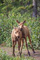 Calves of the year feed on fresh vegetation, Denali National Park