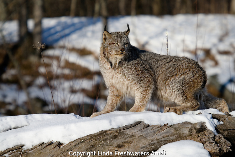 Canada lynx (Lynx canadensis) walking on a snow-covered log