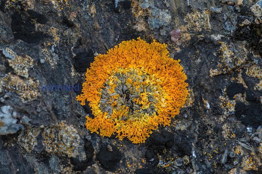 Elegant Sunburst Lichen on tundra rock (Xanthoria elegans), Spitsbergen Island, Norway