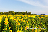 63801-07411 Sunflower field Sam Parr State Park Jasper County, IL