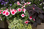 DOROTHEANTHUS 'MEZOO', ICEPLANT, AND IPOMOEA BATATAS 'SIDEKICK BLACK HEART', ORNAMENTAL SWEET POTATO, AND CATHARANTHUS ROSEUS 'NIRVANA CASCADE PINK SPLASH', VINCA