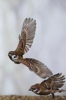 Feldspatz, Flug, fliegend, Flugbild, Feld-Spatz, Feldsperling, Feld-Sperling, Spatz, Spatzen, Sperling, Passer montanus, tree sparrow, sparrow, flight, flying, sparrows, Le Moineau friquet