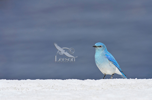 Male Mountain Bluebird (Sialia currucoides) on late melting mountain snowbank.  Western U.S., May.