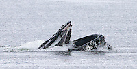 This was my first time witnessing humpback whale bubble feeding.
