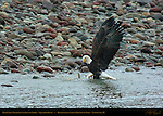 Bald Eagle Dragging Salmon to Shore, Squamish River, Brackendale Eagles Provincial Park, Vancouver, British Columbia