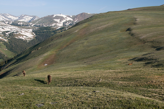 American elk, wapiti, Cervus elaphus, bull, Never Summer Mountains, Tundra Curves, Trail Ridge, alpine, morning, wildlife, mammal, nature, summer, July, high elevation, Rocky Mountain National Park, Colorado, USA