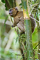 Greater Bamboo Lemur (Prolemus simus) (Critically Endangered) feeding in gaint bamboo. Ranomafana NP, south east Madagascar.