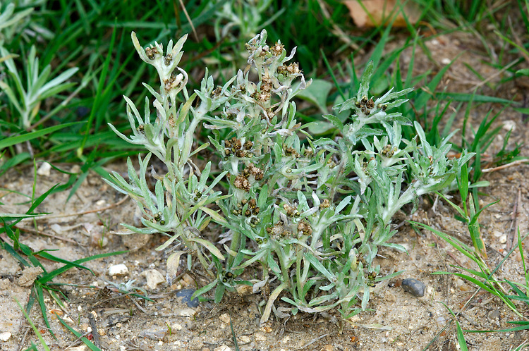 MARSH CUDWEED Gnaphalium uliginosum (Asteraceae) Height to 20cm. Greyish green, woolly and branched annual that grows in damp, disturbed ground and on tracks. FLOWERS are borne in unstalked heads, 3-4mm long, comprising yellow disc florets and brown bracts; in clusters (Jul-Oct). FRUITS are achenes. LEAVES are narrow and woolly on both sides, the top ones surrounding, sometimes over-topping, the flower heads. STATUS-Widespread and common throughout the region.