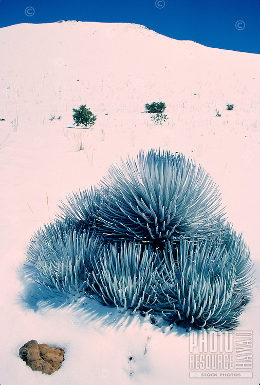 The endangered Mauna Kea silversword with snow found only in the slopes of Mauna Kea on the Big island