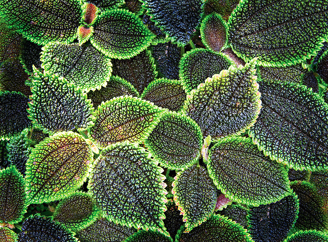 close up of Friendship Plant