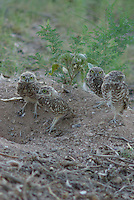 Young Burrowing Owls stand around the nest, a hole in the ground.