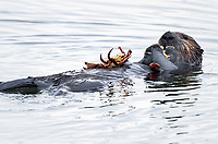 A sea otter (Enhydra lutris nereis) has caught and is eating a large crab @ Moss Landing in the Monterey Bay National Marine Sanctuary.