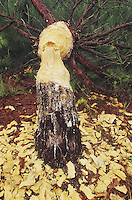 American Beaver (Castor canadensis), felled Loblolly pine (Pinus taeda), Neuse River, Raleigh, Wake County, North Carolina, USA