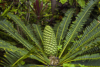 Lush foliage at the main visitor center of the National Tropical Botanical Garden near Poipu, Kauai.