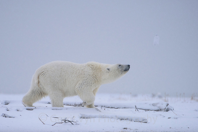 Polar bear (Ursus maritimus). Beaufort Sea coast, Alaska. October.