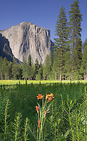 Yosemite Lilly