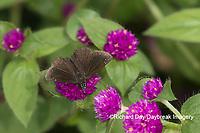 03657-00302 Common Sootywing (Pholisora catullus) on Globe Amaranth (Gomphrena globosa) Marion Co. IL