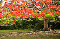 Red Flamboyant tree<br />