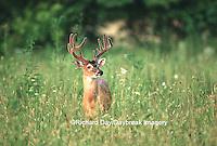 01982-02517  White-tailed Deer (Odocoileus virginianus) 11-point buck in velvet, TN