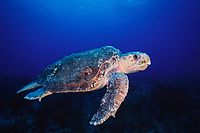 loggerhead sea turtle, Caretta caretta, Palm Beach, Florida, Atlantic Ocean