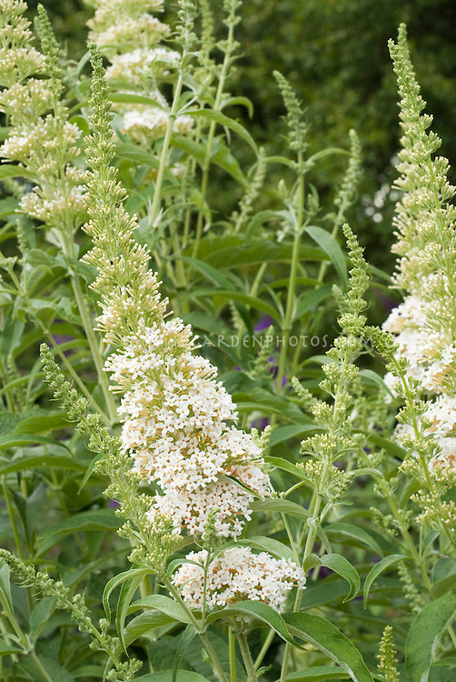 Butterfly Bush White Buddleja davidii 'Darenth Valley'