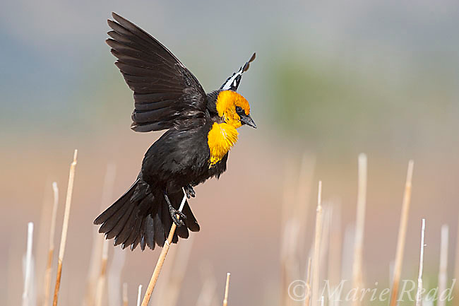 Yellow-headed Blackbird (Xanthocephalus xanthocephalus) male displaying in cattail marsh, Mono Lake Basin, California, USA