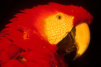 South American fauna. Red macaw, Pantanal Matogrossense, Brazil. Animal, colorful bird.
