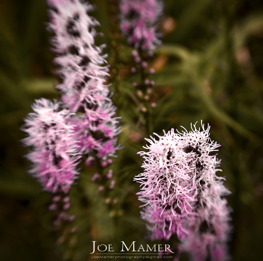 Blazing Star flower (Liatris) also known as gayfeather flowers.