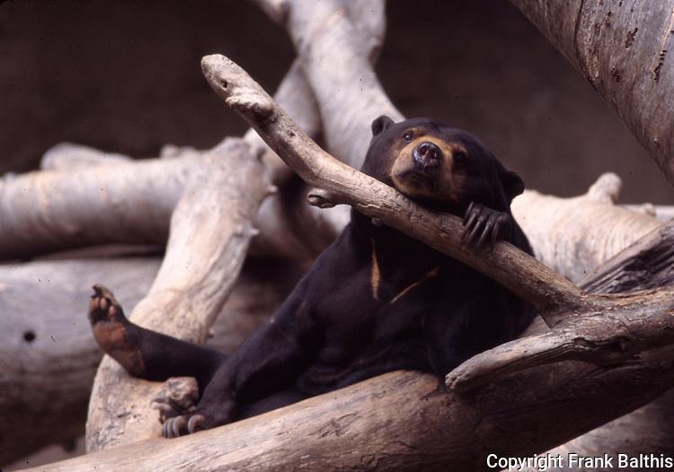 Malayan sun bear at San Diego Zoo