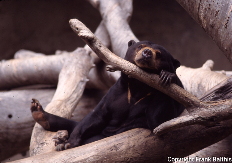 Malayan sun bear at San Diego Zoo