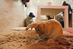 February 26, 2012, Tokyo, Japan - A rabbit is seen playing on the floor at a rabbit cafe where customers can come in to have a drink and play with rabbits. (Photo by Christopher Jue/AFLO)