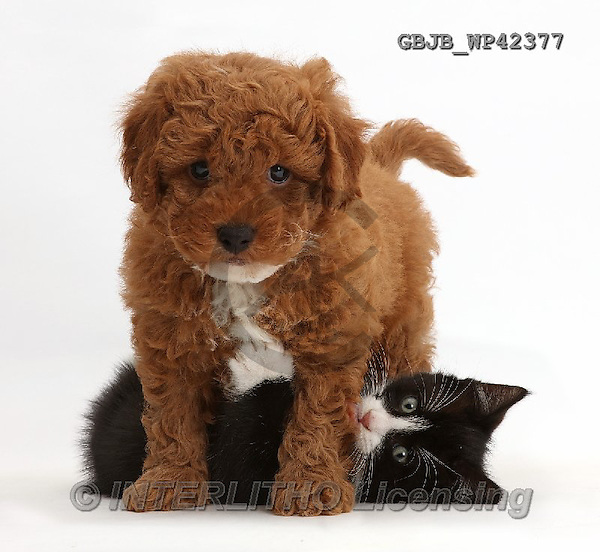 Kim, ANIMALS, REALISTISCHE TIERE, ANIMALES REALISTICOS, fondless, photos,+Black-and-white kitten, Solo, 7 weeks old, playing with F1b toy Cavapoo puppy.,++++,GBJBWP42377,#a#
