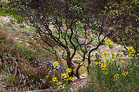 King's Mountain Manzanita, Arctostaphylos regis-montana, drought tolerant shrub with mahogany colored bark and branches, by path in East Bay Regional Parks Botanical Garden, California native plant