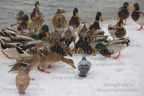 Wild birds fight for food in the snow on the bank of a lake filled with thermal water in the snow covered City Park in Budapest, Hungary on February 17, 2012. ATTILA VOLGYI