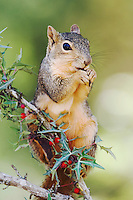 Eastern Fox Squirrel, Sciurus niger, adult eating  Agarita (Berberis trifoliolata) berries, Uvalde County, Hill Country, Texas, USA, April 2006