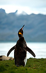 King Penguin stretching wings(Aptenodytes patagonicus) , South Georgia landscape visible in background