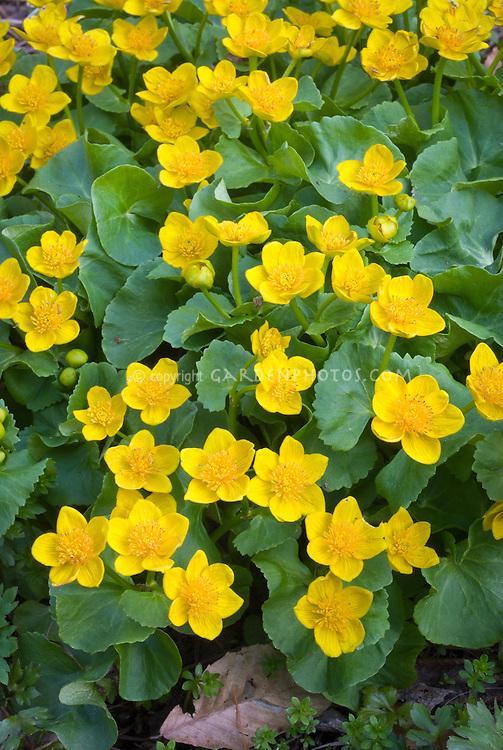 Caltha palustris marsh marigolds in spring flower in wet garden soil