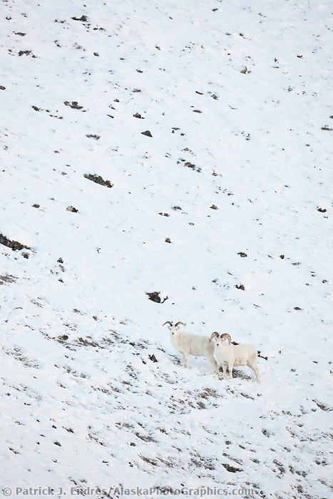 Dall sheep rams in the snow along the Brooks Range mountains in Atigun canyon.