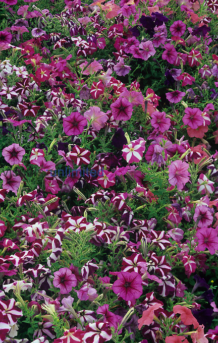 Variation in Petunia flowers.