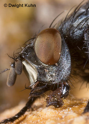 1F10-527z  Flesh Fly close-up of face, compound eyes, lapping tongue, eating pumpkin fruit, Sacrophaga sp.