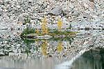 Larch trees on a lake island, Canada