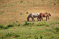 Horses grazing in the Tall Grass Prairie of the Flint Hills in Kansas.