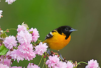 Male Baltimore Oriole or Northern Oriole (Icterus galbula)
