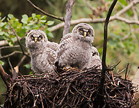 Great Gray Owls in a nest created by Northern Goshawks. (Alberta)