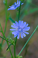 113950001 a wild common chicory wildflower cichorium intybus blooming near the cosa ponds in inyo county california
