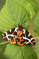 Brauner Bär, Arctia caja, garden tiger moth, great tiger moth, L'écaille martre, écaille hérissonne, Bärenspinner, Arctiidae, Arctiinae, erebid moths, erebid moth, woolly bears, woolly worms
