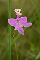 Simpson's grass-pink orchid  in the Florida Everglades. This is a subspecies of the common grass-pink, and is slightly larger with wider leaves. It is only found south of Lake Okeechobee.