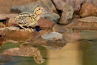 574470029 a gambel's quail chick drink from a small pond in green valley arizona united states